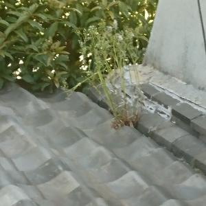 瓦の間から草